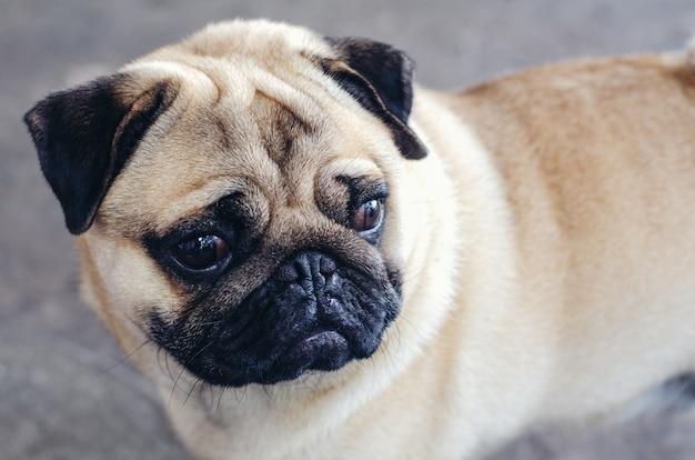 Portret van knap mannelijk emotiegezicht van gelukkige pug hond.