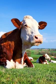 Portret van koe op een groene weide op zonnige dag