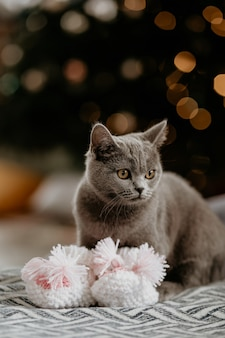 Portret van leuk brits katje met babysokjes in de winter