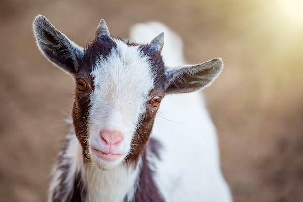 Portret van leuk de geitdier die van kameroen met zonlicht kijken