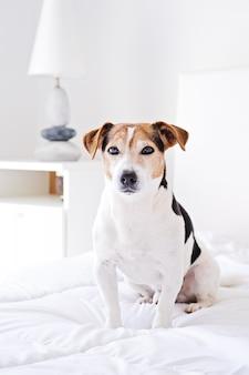 Portret van leuke hond die op bed situeert en camera op wit dekbed bekijkt