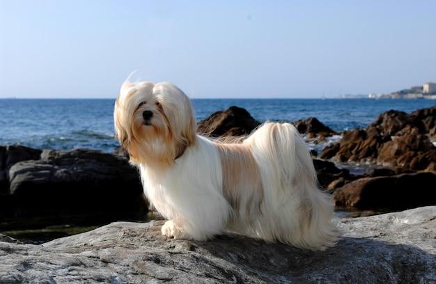 Portret van lhasa apso-hond