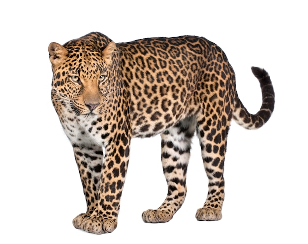 Portret van luipaard, panthera pardus, permanent
