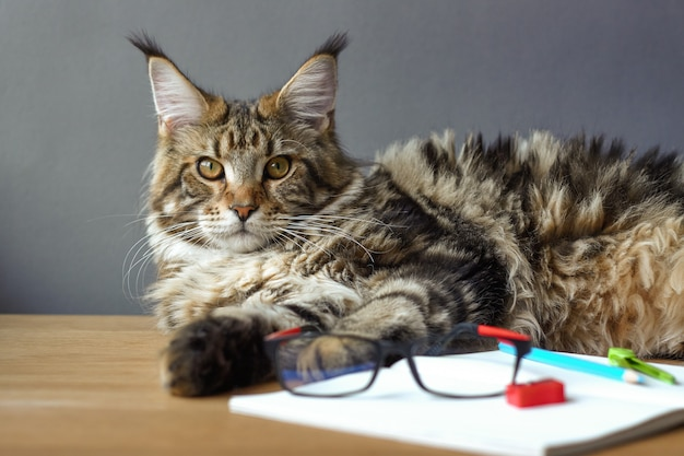 Portret van maine coon-kat