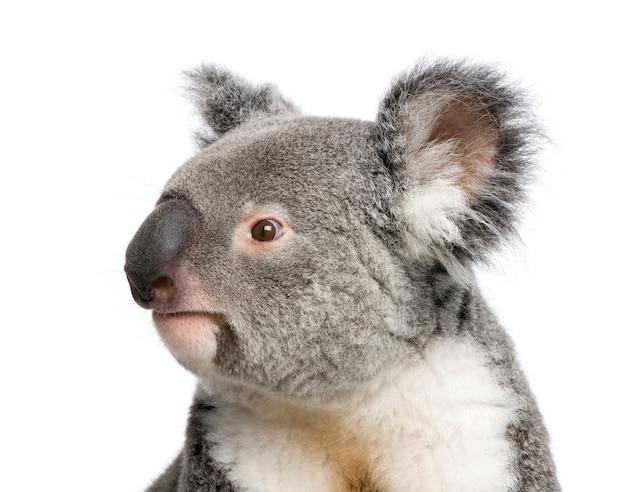 Portret van mannelijke koala beer, phascolarctos cinereus, op een witte geïsoleerd,