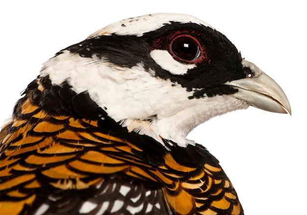 Portret van mannelijke reeves' fazant, syrmaticus reevesii, kan tot 210 cm lang worden, voor een wit oppervlak