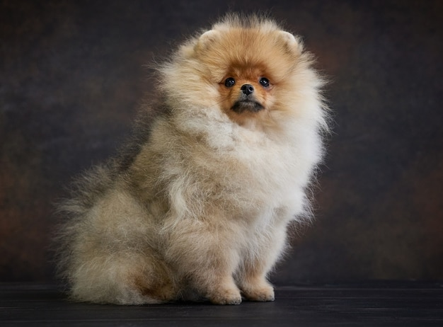 Portret van miniatuur pommeren spitz puppy