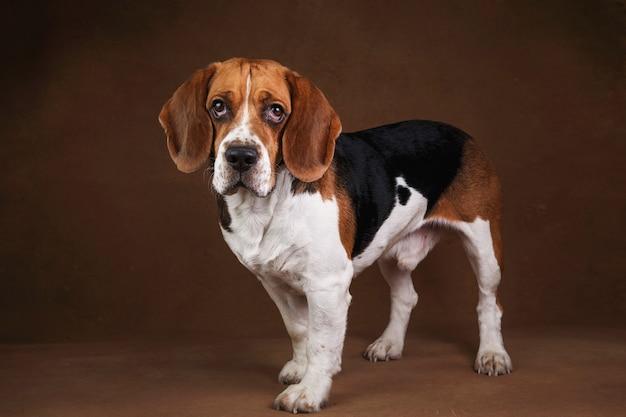 Portret van mooie amerikaanse beagle hond