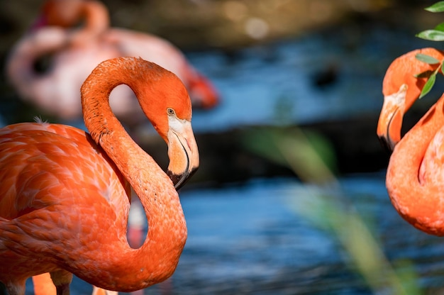 Portret van mooie amerikaanse flamingo of phoenicopterus ruber dichtbij water