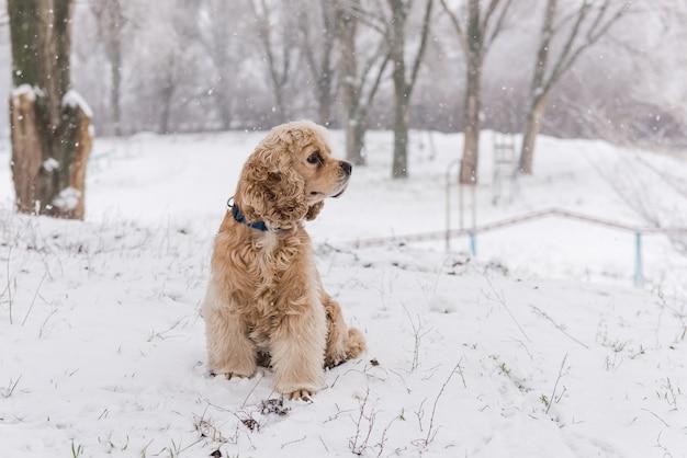 Portret van mooie cocker spaniel tijdens de winterwandeling
