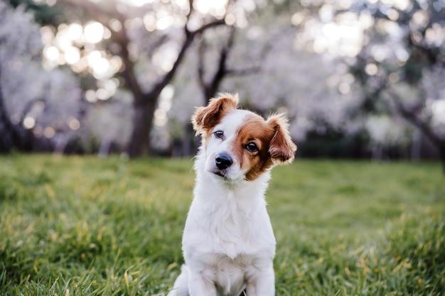 Portret van mooie jack russell hond in park bij zonsondergang. bloesem en lente