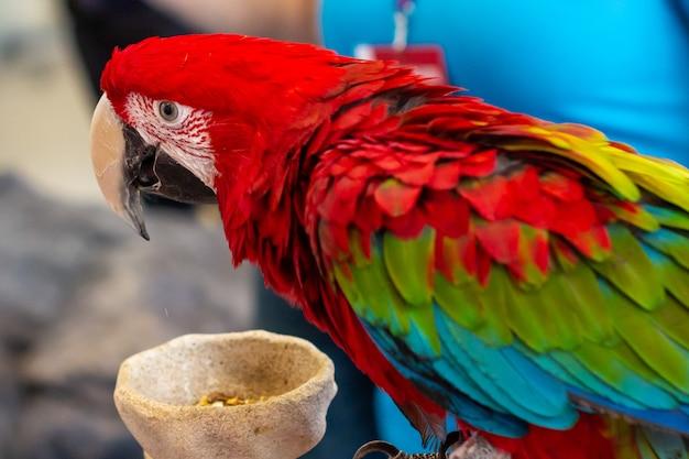 Portret van mooie kleurrijke ara scarlet macaw-papegaai dichte omhooggaand.