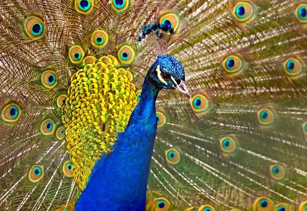 Portret van mooie pauw met uit veren