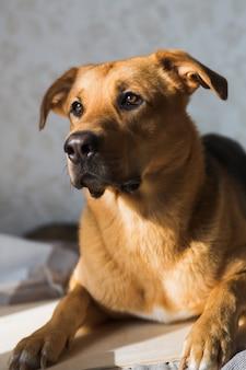 Portret van mooie rode haarhond in intrerior. de hond zit. poseren en opzij kijken.