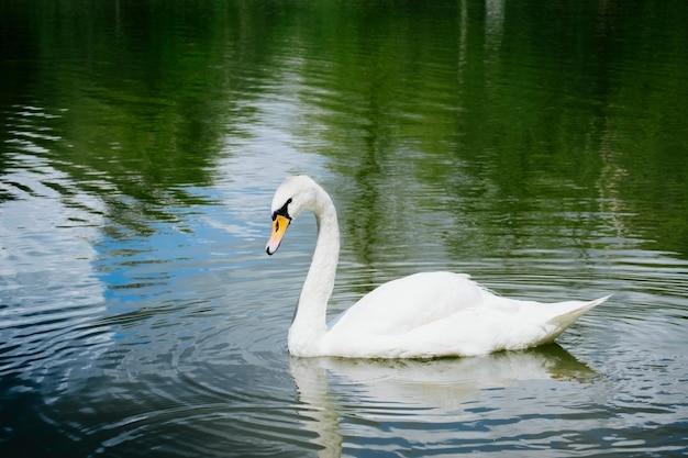 Portret van mooie witte zwaan die op een meer zwemmen