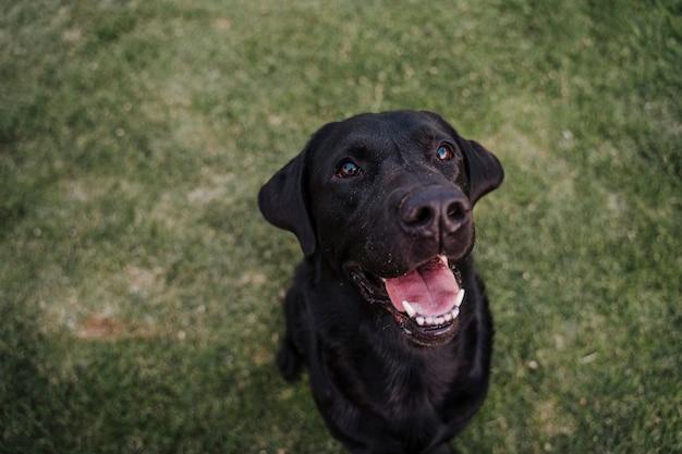 Portret van mooie zwarte labrador zittend op het gras in een park
