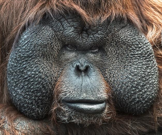 Portret van orang-oetan. close-up gezicht.