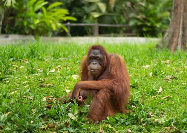 Portret van orang-oetan die op gras zit