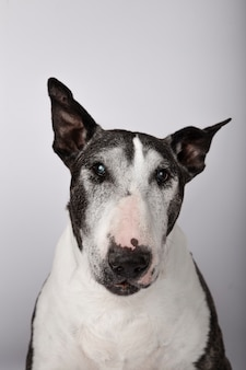 Portret van oudere hond van het bull terrier-ras