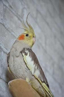 Portret van papegaai valkparkiet, valkparkiet close-up, grijze papegaai, huispapegaai