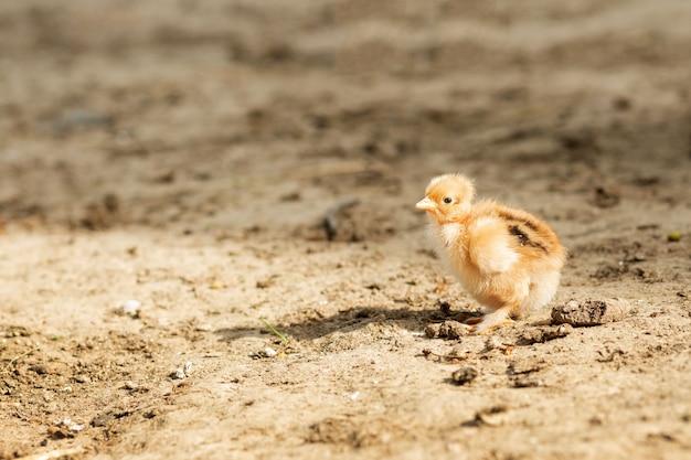 Portret van pasen kleine pluizige gele kip wandelen in de tuin van het dorp op een zonnige lentedag