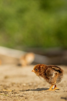 Portret van pasen kleine pluizige gele kip wandelen in de tuin van het dorp op een zonnige lentedag.