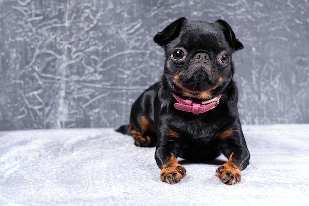 Portret van petit brabancon hond,