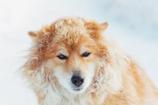 Portret van pluizige rode hond in openlucht in de sneeuw
