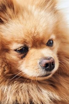 Portret van pomeraninan beige spitz hond