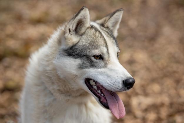 Portret van prachtige siberische husky hond staande in het heldere betoverende val bos