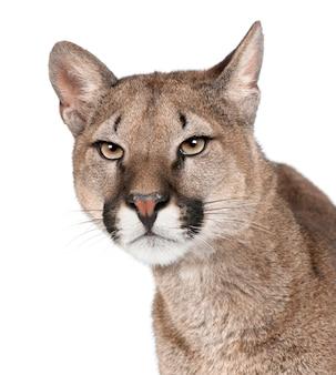 Portret van puma cub, puma concolor, permanent
