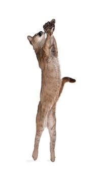 Portret van puma-welp, puma-concolor, op geïsoleerd wit