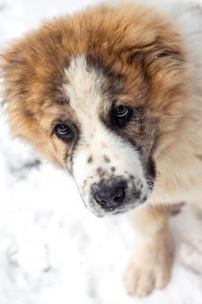 Portret van puppy van centraal-aziatische herder
