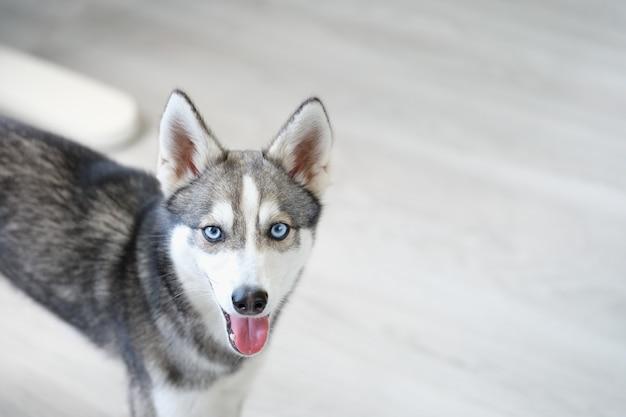 Portret van rasechte mini husky hond met open mond