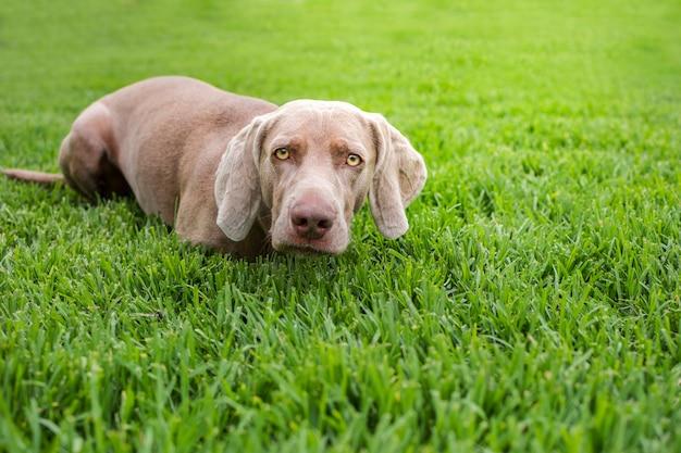 Portret van rasechte weimaraner, in de positie van een jagershond, in de natuur
