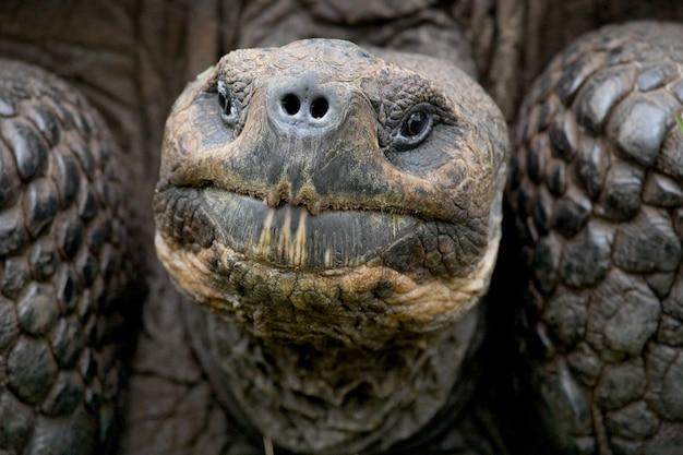 Portret van reuzenschildpad