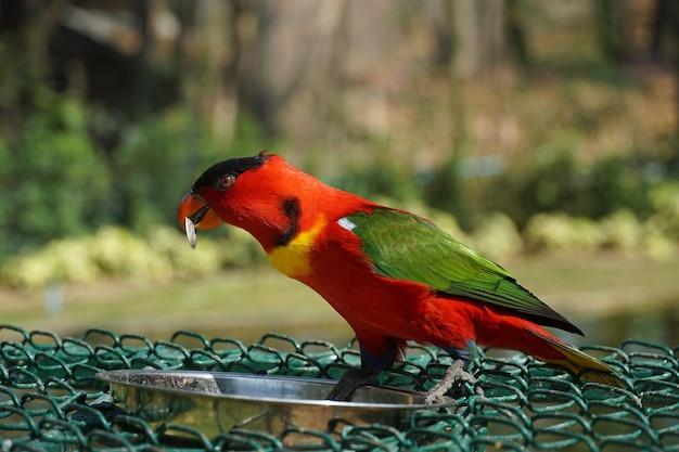 Portret van rode papegaaivogel die droog zonnebloemzaad eet uit roestvrijstalen kom in groene tuin. dier voeren.