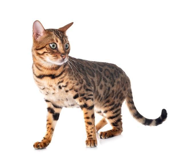 Portret van schattige bengaalse kat