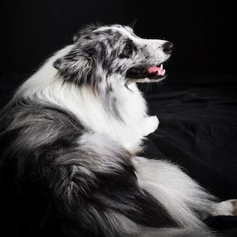 Portret van schattige border collie-hond