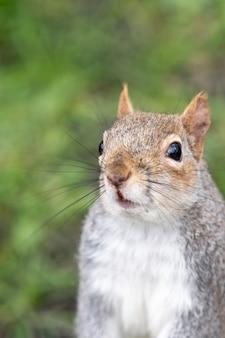 Portret van schattige eekhoorn met pluizige staart zitten staren naar de camera