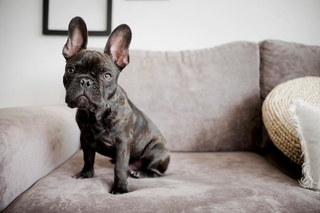 Portret van schattige franse bulldog
