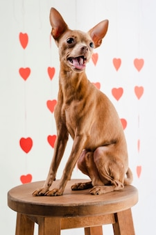 Portret van schattige kleine chihuahua hond zittend op een stoel