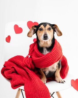 Portret van schattige kleine hond bedekt met een sjaal
