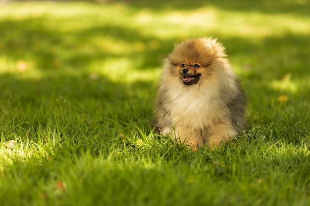 Portret van schattige pommeren hond in het park
