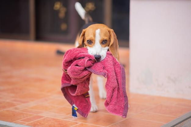 Portret van schattige puppy beagle