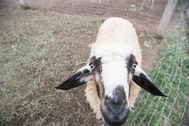 Portret van schattige schapen in kudde camera kijken