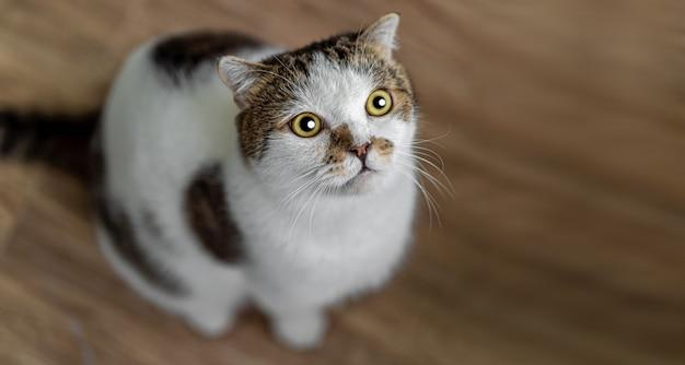 Portret van schattige schotse vouwen kat zittend op het hout