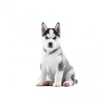 Portret van schattige siberische husky hond met blauwe ogen, grijze en zwarte vacht, zittend op de vloer. grappige kleine puppy als wolf. op wit wordt geïsoleerd. echte dierenvriend.