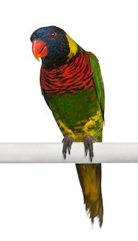 Portret van sierlijke lori, trichoglossus ornatus, een papegaai, zitstokken voor witte achtergrond