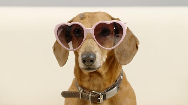 Portret van teckelhond in een roze zonnebril grappig huisdier thuis